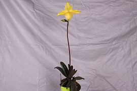 "Paphiopedilum ""Irmi Brown"""